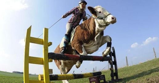 Karvė šuolininkė per kliūtis