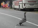 Kormoranams Kelių eismo taisyklės negalioja