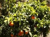 Apelsinmedis su vaisiais ir žiedais