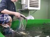 Nuotraukos Žuvininkystės tarnybos (ZUV.lt)