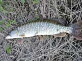 Baigiasi draudimas žvejoti lydekas