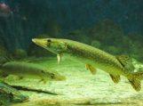 Nuo vasario 1 d. lydekas žvejoti draudžiama