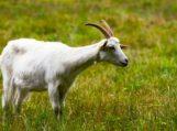 Ožkų medžioklė vidury baltos dienos