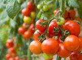 Išsvajotas derlius: kokias sėklas rinktis?