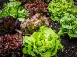 Salotų auginimo ypatumai