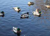 Prasideda Lietuvoje žiemojančių vandens paukščių apskaita