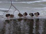 Kokios globos žiemą laukia vandens paukščiai