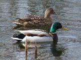 VMVT primena, kad prasidėjus pavasarinei paukščių migracijai, naminius paukščius reikia laikyti uždarytus