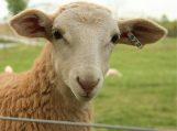 Vagių laimikis – 26 avys