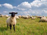 Mėsinių galvijų ir mėsinių avių laikytojai kviečiami teikti prašymus tiesioginėms išmokoms gauti