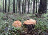 Invazinius medžius jau galima kirsti be leidimo