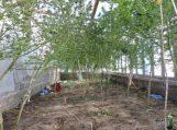 Augintos kanapės vietoj derliaus uždirbo teistumą