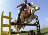 Karvė – šuolininkė per kliūtis
