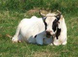 Informacija pieno gamintojams ir gyvulių augintojams