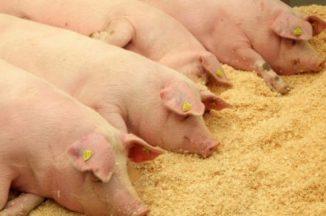 Kiaulių laikytojams už biologinio saugumo priemonių reikalavimų įgyvendinimą – valstybės parama