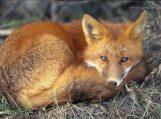Pradedama pavasarinė laukinių gyvūnų vakcinacija nuo pasiutligės
