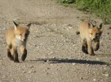 Prasideda laukinių gyvūnų vakcinacijos nuo pasiutligės rudeninis etapas