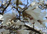 Šilutėje jau žydi magnolijos