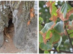 Šilutės mieste bus kertama mažiau blogos būklės medžių nei buvo numatyta