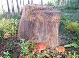 Individualia medienos pardavimo veikla vertęsi gyventojai gali susigrąžinti mokestinę permoką