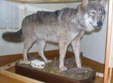 Šilutės rajono miškuose laksto 23 vilkai