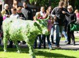 """Pasaulinė meno paroda """"Karvių paradas"""" Palangoje"""