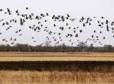 Nemuno deltoje – paukščių migracijos įkarštis