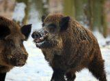 Dėl kiaulių maro grėsmės pakeistos medžioklės taisyklės. Už sumedžiotą šerną – iki 250 Lt
