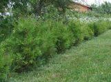 Nustatyti reikalavimai, kaip sodinti medžius ir krūmus privačioje žemėje
