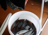 Šilutėje išaiškintas nelegalus žuvų cechas